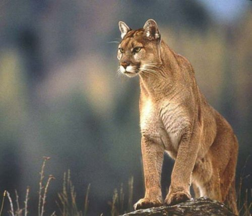 Puma_NaturalWildLife_2.jpg