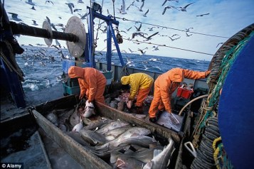 1415153109881_wps_12_Fisherman_cleaning_fish_A.jpg