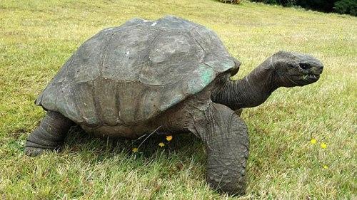 giant-tortoise-jonathan3.jpg